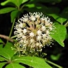 Елеутерокок і підвищена пітливість - унікальний лікувальний дар природи