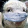 Як лікувати свиней, профілактика хвороб