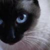 Як вилікувати цистит у кішок