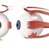 М`язи очі