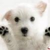 Симптоми циститу у собак