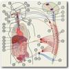 Вегетативна нервова система людини